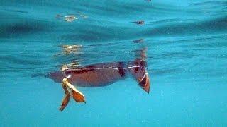 Download Puffins Underwater at Skomer Video