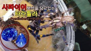 Download 사파이어 타란튤라의 짝짓기를 시켜보았다. 파란색이라니 말도안돼!!! [정브르] / tarantula mating Video