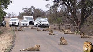 Download Largest Lion Pride Ever Blocking Road In Kruger Park Video