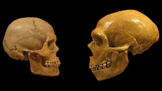 Download Homo Sapiens vs Neanderthals | The Evolution of Language Video