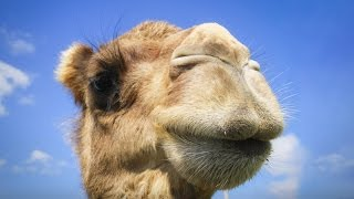 Download You have no idea where camels really come from | Latif Nasser Video
