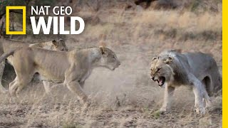 Download Lions Get Kicked Out of Their Pride in Rare Video | Nat Geo Wild Video