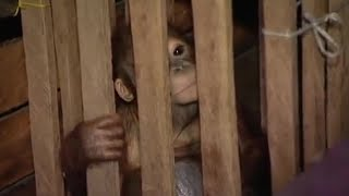 Download Rescue Mission Part 1 | Orangutan Diary | BBC Video