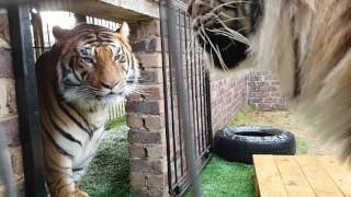 Download Tigers fight , this is why You don't fight them! Video