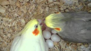 Download Our Cockatiels P-chan & Pebble Feeding Their Baby - 3 days old Video