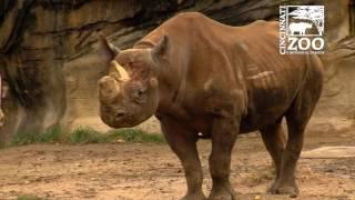 Download Black Rhino Pregnant at the Cincinnati Zoo Video