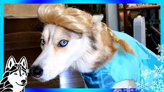 Download FROZEN SHELBY THE HUSKY | Dogs in Halloween 2016 Costumes Video