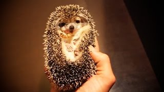 Download Cute And Funny Hedgehogs 😍 [Funny Pets] Video