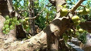 Download Sanh cổ và sung tuyệt đẹp có quả nhìn đã mắt - Bonsai trees have many fruits Video