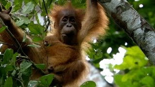 Download Baby Orangutan has strong bond with mum - Animal Super Parents: Episode 1 Preview - BBC One Video