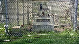 Download Bobcat Rehab Intensive Care Cam 08-27-2018 09:39:50 - 10:39:50 Video