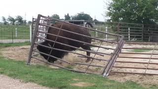 Download how a bison fixes a fence Video