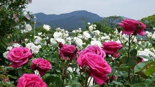 Download The rose garden of Kayoichou Park, Japan - 4K garden rose extravaganza Video