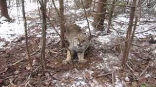 Download Trailcam Bobcat Video