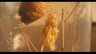 Download Praying Mantids Egg Case Hatching - Ootheca Hatching Video