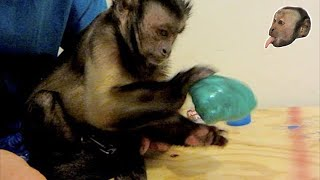 Download Capuchin Monkey Plays with Planet Putty! SMART MONKEY! Video