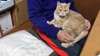 Download 膝の上に戻ってくるけど狭そうな猫に癒される Video