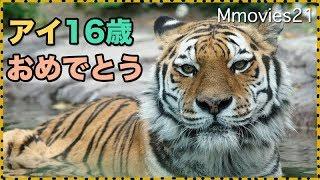 Download 夕方はよく歩くアムールトラのアイ 16歳おめでとう Amur Tiger Video