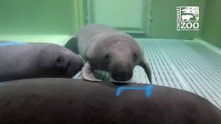 Download New Manatees Arrive for Rehab - Cincinnati Zoo Video