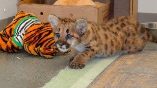 Download Animal Spotlight: Mountain Lion Cub Video