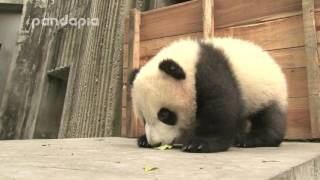 Download panda cub finds an interesting place Video