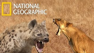 Download Lions Vs Hyenas Endless War - National Geographic Documentary 2015 Video