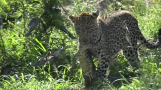 Download A young leopard carries around a huge lizard - #safariLIVE Video
