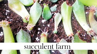 Download How To Propagate Succulents Like A BOSS! Video