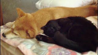 Download 眠そうな犬と猫をなでなですると Pet the sleepy dog and cat Video