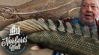 Download DRACHENHECHT - DER ERSTE FISCH DER AN LAND GING? | FLÖSSELHECHT | NORBERTS WELT | Zoo Zajac Video