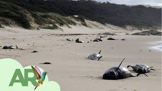 Download Ballenas varadas en Australia y Nueva Zelanda Video