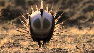 Download Body-popping sage grouse - Nature's Greatest Dancers: Episode 1 Preview - BBC One Video