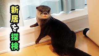 Download カワウソ コタロー 新しい家を探検 Kotaro the Otter Exploring New Home Video