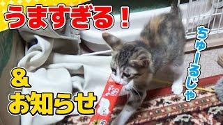 Download 【猫】はじめてのちゅーるにフガフガが止まらない子猫たまとお知らせ:6日目【kitten】 Video