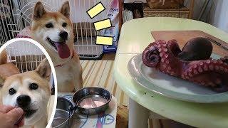 Download 柴犬小春 【引っ張りだこ】始めてタコを見た柴犬の反応がストレートすぎた。 octopus Video