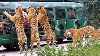 Download Angry Royal Bengal Tiger Comes to Forward of Safari Bus | A Full Day tour Bangabandhu Safari Park Video