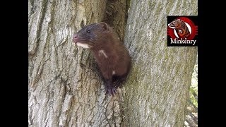Download What is a Mink? Video
