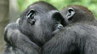 Download INCREÍBLE MOMENTO En que los monos son liberados Video