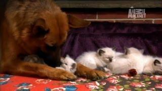 Download Ragdoll Kittens | Too Cute! Video