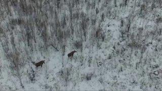 Download лоси в лесу (квадрокоптер) Video