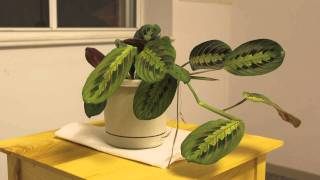 Download Prayer Plant Time Lapse Video