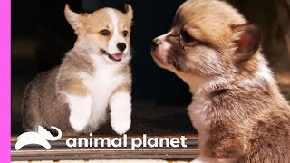 Download Corgi Pups Explore The World On Their Tiny Legs | Too Cute! Video