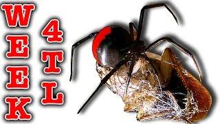 Download Killer Spider Vs Spider Redback Nasty Girls Week 4 Timelapse (Graphic Video) Video