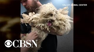 Download Neglected poodle gets a makeover Video