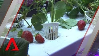 Download Locally grown strawberries in Singapore? It's now a reality Video