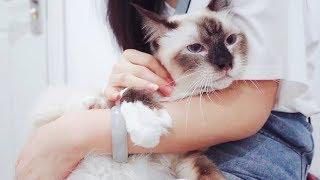 Download 主人带猫咪去医院看病,胆小的布偶猫被狗狗吓得直往主人怀里钻 Video