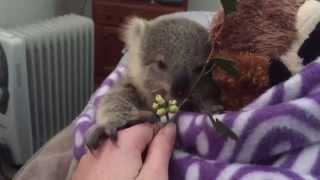 Download koala joey's most adorable home video of all time Video