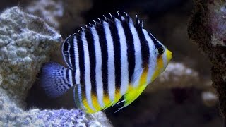 Download Multibar Angel Fish - The Hard Truth... Video