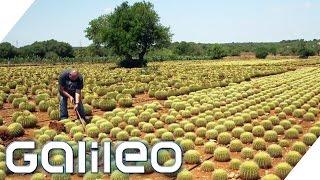 Download Verrückte Jobs auf Mallorca | Galileo | ProSieben Video
