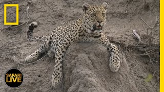 Download Safari Live - Day 59 | National Geographic Video